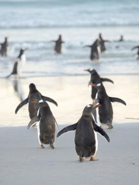 Walking to enter the sea during early morning. Gentoo Penguin in the Falkland Islands in January. by Martin Zwick