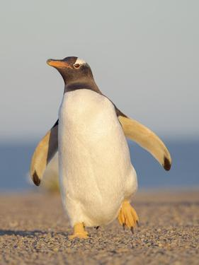 Walking to the colony. Gentoo penguin in the Falkland Islands in January. by Martin Zwick
