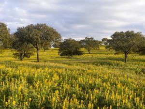 Wildflower meadow, Mertola, Parque Natural do Vale do Guadiana, Portugal, Alentejo by Martin Zwick