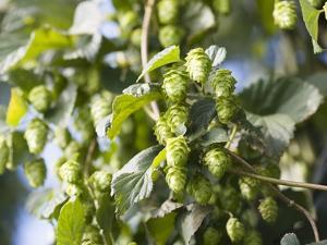 Hop Plant with Buds (Humulus Lupos) by Martina Schindler