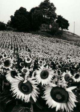 Sunflowers, Provence, France by Martine Franck