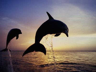 Bottlenose Dolphins Leaping Out of the Water at Twilight (Tursiops Truncatus) by Marty Snyderman