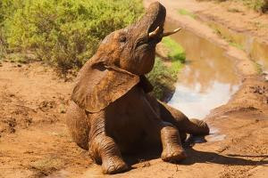 African Elephant by Mary Ann McDonald