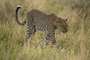 African Leopard by Mary Ann McDonald
