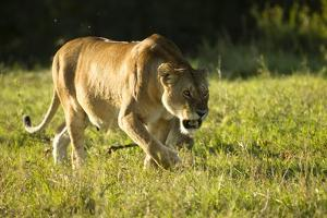 African Lion Agressive Female by Mary Ann McDonald