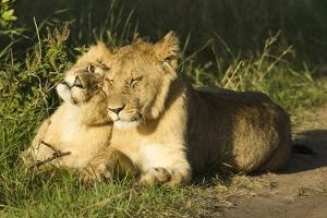 African Lion Cubs by Mary Ann McDonald