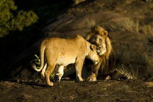 African Lion Pair by Mary Ann McDonald