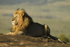 African Male Lion by Mary Ann McDonald