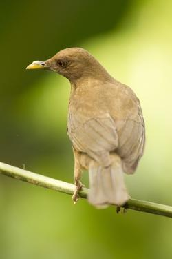 Clay-Colored Robin by Mary Ann McDonald