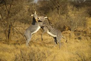 Grevy's Zebra Fighting by Mary Ann McDonald