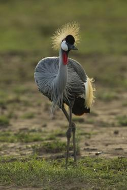 Grey-Crowned Crane by Mary Ann McDonald