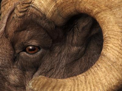 Head of American Bighorn Sheep