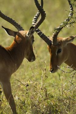 Impala Fighting by Mary Ann McDonald