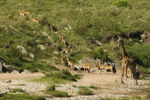 Impala Herd by Mary Ann McDonald