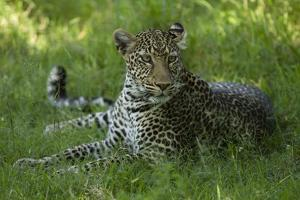 Leopard in Grass by Mary Ann McDonald