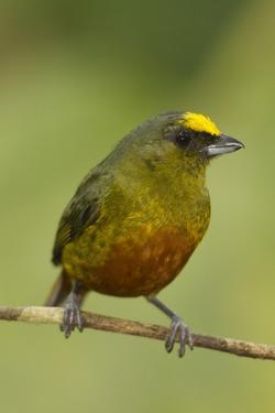 Olive-Backed Euphonia by Mary Ann McDonald