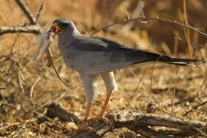 Pale Chanting Goshawk Eating Rodent by Mary Ann McDonald