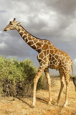 Reticulated Giraffe by Mary Ann McDonald