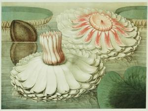 Victoria Regia or the Great Water Lily of America (Intermediate Stages of Bloom), 1854 by Mary Cassatt