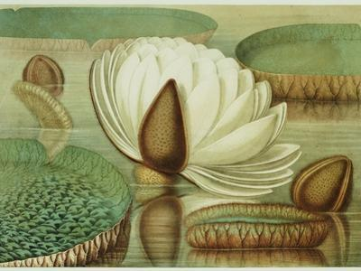 Victoria Regia or the Great Water Lily of America (Opening Flower), 1854, Publishers by Mary Cassatt