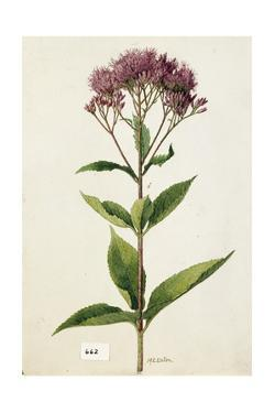 A Painting of a Spotted Boneset or Joe-Pye Weed by Mary E. Eaton