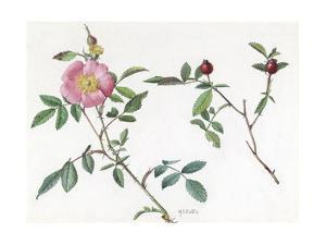 A Painting of a Sprig of a Carolina Rose and its Blossom by Mary E. Eaton