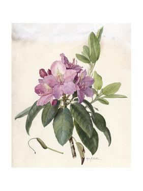 A Painting of a Sprig of Eastern Pasqueflower and its Blossom by Mary E. Eaton