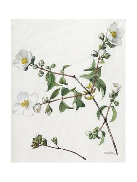 A Painting of a Sprig of Lewis' Mock Orange and its Blossom by Mary E. Eaton