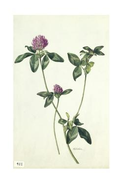 A Painting of a Sprig of Red Clover by Mary E. Eaton