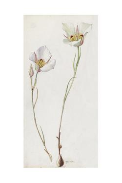 A Painting of a Sprig of Sego Lily and its Blossom by Mary E. Eaton