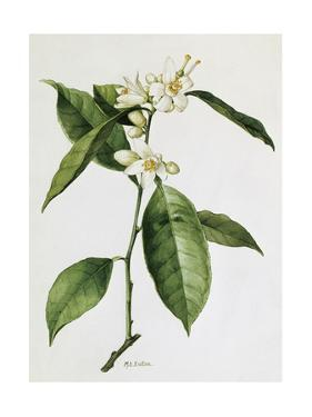 A Painting of a Sprig of the Sweet Orange Blossom Plant by Mary E. Eaton