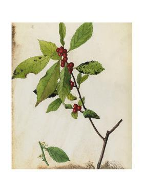 A Painting of American Winterberry and its Fruit and Blossoms by Mary E. Eaton
