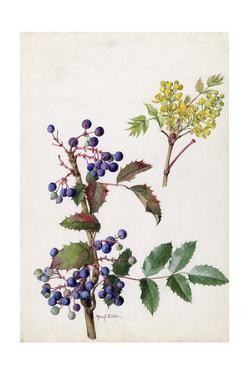 A Painting of Hollyleaved Barberry and its Fruit and Blossoms by Mary E. Eaton