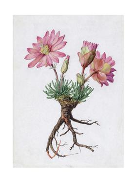 A Painting of the Bitterroot Plant and its Blossoms by Mary E. Eaton