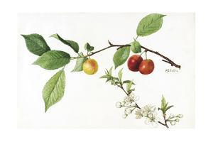 A Painting of the Fruit and Blossoms of the American Plum Plant by Mary E. Eaton