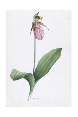 A Painting of the Wild Orchid, Moccasin Flower by Mary E. Eaton