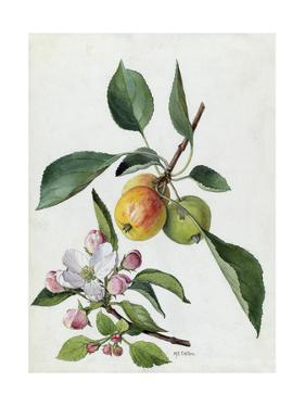 A Sprig of a Paradise Apple Tree, its Blossom and Fruit by Mary E. Eaton