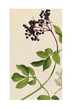 A Sprig of American Black Elderberry Shrub Blossoms and Berries by Mary E. Eaton
