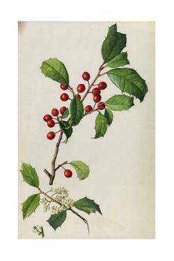 A Sprig of American Holly Tree Berries and Blossoms by Mary E. Eaton