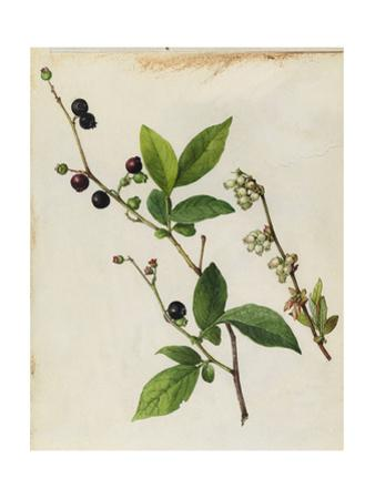 A Sprig of Black Highbush Blueberry Blossoms and Berries by Mary E. Eaton
