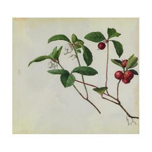 A Sprig of Eastern Teaberry Blossoms and Berries by Mary E. Eaton