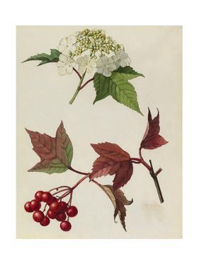 A Sprig of European Cranberrybush Berries and Blossoms by Mary E. Eaton
