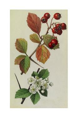 A Sprig of Fleshy Hawthorn Tree Berries and Blossoms by Mary E. Eaton