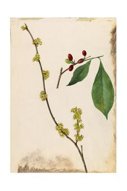 A Sprig of Northern Spicebush Shrub Berries and Blossoms by Mary E. Eaton