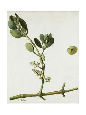 A Sprig of Oak Mistletoe and its Berries by Mary E. Eaton