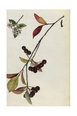 A Sprig of Red Chokeberry Blossoms and Berries by Mary E. Eaton