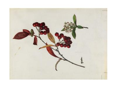A Sprig of Red Chokeberry Shrub Berries and Blossoms by Mary E. Eaton