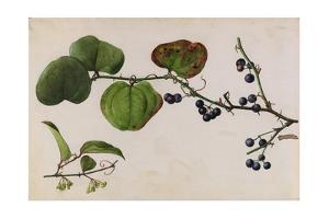 A Sprig of Roundleaf Greenbrier Shrub Blossoms and Berries by Mary E. Eaton