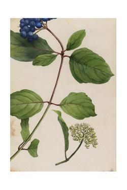 A Sprig of Silky Dogwood Shrub Berries and Blossoms by Mary E. Eaton