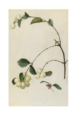 A Sprig of Snowberry Blossoms and Berries by Mary E. Eaton